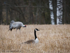 20170404104106 (koppomcolors) Tags: koppomcolors fåglar birds sweden sverige scandinavia
