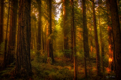 Enchanted Forest (Ping...) Tags: redwoodnationalpark redwoodtrees redwood gigantic tall light fog beam