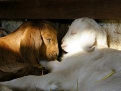 sleeping babies (Black Cat Bazaar) Tags: goats babies kids spring tired sleeping sunbeam chico california ca babygoatday pair