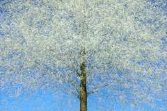 tree visions (Sandra Bartocha) Tags: layers treevisions multiexposure cherry springtime