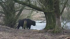 Gallowayrund (Rob van t Padje) Tags: diereninhetwild flickr zoogdieren kekerdom provinciegelderland nederland nld