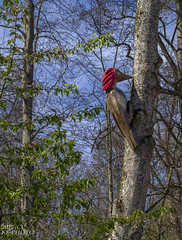 Woodpecker (KF-Photo) Tags: crop forsthofreutlingen reutlingen roteshäubchen specht wasenwald