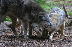 Sociality (Wildlife Online) Tags: wolf greywolf timberwolf canislupus lupus dog wolves dominancebehaviour behaviour behavior wolfbehaviour wolfpack animal wildlife nature mammal canidae canid newforestwildlifepark hampshire marcbaldwin wildlifeonline