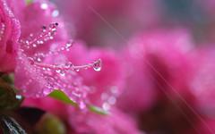 la magie de quelques gouttes (christophe.laigle) Tags: rose azalées colours xf60mm nature flower rhododendron christophelaigle raindrop drops macro pink fuji couleurs gouttes xpro2 fleur pluie