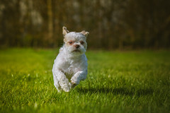dog-6456 (EB_Creation) Tags: dog shihtzucentral shih tzu running grass green action cool outdoor outside nikon nikond7100 nikkor 85mm 850mmf18 nikon850mmf18 white 2017 camera lens digital pet