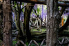 DSC_1676 (sayo-tsu) Tags: 藤 wisteria 牛島のフジ 春日部市 埼玉県 kasukabe saitama 特別天然記念物