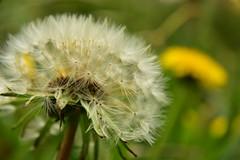 DSC_2394 (5zabi) Tags: dandelion taraxacum yellow white sigma nikond3400 spring flower garden blooming