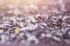 :: seeds :: (mjcollins photography) Tags: macromondayseeds evening light macro depthoffield dof sunflower seeds feeder shells empty birds bokeh