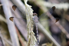 Woodskimmer at Rainmaker. (Cameron Eckert) Tags: odonata ode beauty biodiversity ecosystem ecological ecology explore ecologicalmonitoring conservation protectedarea consevation climatechange color colour insect flight flying freedom costarica forest