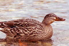 Thristy duck (gregory.sevin) Tags: duck bird animal drinking water yvoire france lake