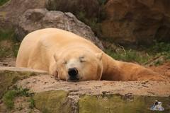 Erlebniszoo Hannver 15.04.2017 087 (Fruehlingsstern) Tags: eisbären polarbear sprinter melana elefanten seelöwen weiskopfseeadler yukonbay erlebniszoohannover hannover canoneos750 tamron16300 zoo