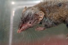 asian house shrew (explore) (DOLCEVITALUX) Tags: asianhouseshrew shrew rodent philippines mammal animal nikond90 panasoniclumixls100