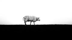 Lonely Sheep (Seval Aydoğan) Tags: urk flevoland niederlande nl bw nature animal sheep schwarzweiss schaf tier damm holland dutch