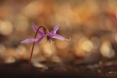 Dog's-Tooth Violet (ildikólaskay) Tags: macro flower springflower blume fleur fiore flor virág kakasmandikó hungary dogstoothviolet erythroniumdenscanis hundszahnlilie dentdechien dientedeperro dentedicane