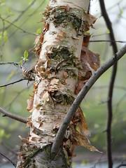 River Birch (Dendroica cerulea) Tags: riverbirch betulanigra neurobetula betula betulaceae fagales birch tree trees river spring johnsonpark highlandpark middlesexcounty nj newjersey