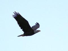 Bald Eagle flying SE 2-20170421 (Kenneth Cole Schneider) Tags: florida miramar westmiramarwca