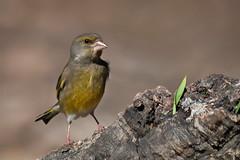 Tough (Luis-Gaspar) Tags: animal bird passaro ave verdilhao verdelhao finch greenfinch carduelischloris portugal arrabida parquedoalambre nikon d60 55300 f56 13200 iso400