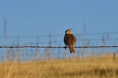 One Of The Best Sounds Of Spring (Chamblin1) Tags: bird barbedwire country colorado pasture birdsong nature spring