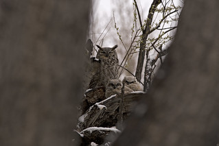 Great Horned Owls 2