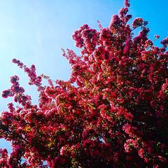 Prunus. (Dynaries) Tags: boom tree lente bloesem flower flowers sping color kleur vrolijk happiness blog blogger image photo prunus fun mobile umi touch love people 2017