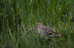 Elusive Snipe. (spw6156 - Over 5,500,406 Views) Tags: elusive snipe iso 640cropped copyright steve waterhouse