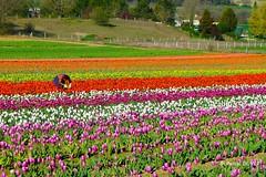 Culture de tulipes dans les Alpes de Haute Provence ... (Pascal Duvet) Tags: culture champs tulipes vue paysage panorama alpes haute provence 04 pascal duvet
