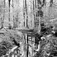 Mamiya087 (salparadise666) Tags: sunday morning walk series mamiya c330 sekor 80mm fomapan 100 boxspeed no filter caffenol cl stand developed by mistake 60min nils volkmer vintage camera medium format 6x6 square nature landscape wood forest monochrome bw black white contrast view detail