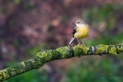 Yellow wagtail @ birding hide