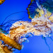 Pacific sea nettle 6 - National Aquarium