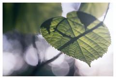 Leaf and shadow (leo.roos) Tags: leaf blad leaves bladeren shadow schaduw tessar bauschandlombtessaric113mmf45 enlargerlens enlarginglens a7rii day113 dayprime dayprime2017 dyxum challenge prime primes lens lenzen brandpuntsafstand focallength fl darosa leoroos