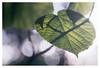 Leaf and shadow (leo.roos) Tags: leaf blad leaves bladeren shadow schaduw tessar bauschandlombtessaric113mmf45 enlargerlens enlarginglens a7rii day113 dayprime dayprime2017 dyxum challenge prime primes lens lenzen brandpuntsafstand focallength fl darosa leoroos vergroterlens vergrotingslens vergroter enlarger