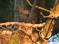 Great Horned Owlet (Two Cats Productions) Tags: