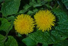 Dandelions (frankmh) Tags: plant flower dandelion hittarp skåne sweden outdoor