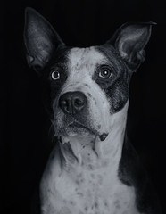 Cleo (Cruzin Canines Photography) Tags: animal animals canon canoneos5ds canine canon5ds 5ds eos5ds indoors inside studio portrait dog dogs domestic domesticanimal pet pets pitbull pit pitbullterrier americanpitbullterrier cleo closeup cleopitra cute blackandwhite monochrome lowkey pretty