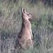 EASTERN GREY KANGAROO (16th man) Tags: toowoomba qld queensland australia kangaroo easterngreykangaroo canon eos eos5dmkiii mtpeelbushlandreserve kangaroomountain