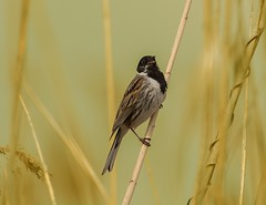 my first Reed Bunting...and I've gotten a wonderful song, just for me (hardy-gjK) Tags: birds vögel oiseaux wildlife reed schilf nature hardy nikon blue animals tiere