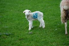 Spring Lambs (tim ellis) Tags: sheep lamb animal farm rodbaston animalzone spring number 45 fortyfive penkridge uk