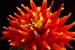 floral (paweesit) Tags: blossom flower bud floral floret floweret bloom plant red color colorful macro bright garden
