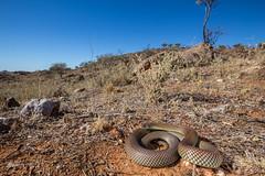 Mulga Snake (R. Francis) Tags: mulgasnake pseudechisaustralis inhabitat nsw newsouthwales brokenhill ryanfrancisphotography ryanfrancis