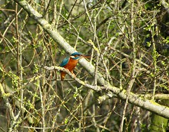 Kingfisher (Brandon Kemp Wild Life) Tags: predators hardbirdstofilm birdwatching catchingfish rivers lakes skimmingbirds smallbirds riverbank protectedanimals birds fastbirds britain northofengland spring greentrees kingfisher wildlifephotography photography woodland watercanal wildlife canonsx420 canon wings fly nature blue orange posingkingfisher