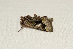 Behrensia conchiformis - Hodges # 10178 (Nick Dean1) Tags: behrensiaconchiformis hodges10178 hodges southeverett everett was washingtonstate washingtonusa animalia arthropoda arthropod hexapoda hexapod insect insecta lepidoptera moth