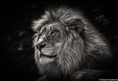 Awaking Beauty (Robert Streithorst) Tags: zoosofnorthamerica john cincinnatizoo robertstreithorst bigcat male lion