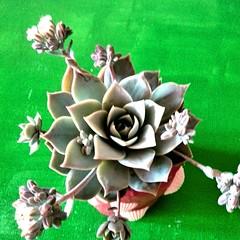 #buonadomenica #Green #succulent #pianta #grassa #cactus #cactaceae #pot #ilovecactus #giardinopensile #polliceverde #natura (losting75) Tags: instagramapp square squareformat iphoneography uploaded:by=instagram cactus cactacee green piantegrasse polliceverde
