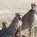 The Cheetah Family
