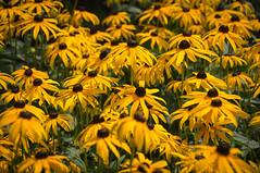 Echinacea (Matt H. Imaging) Tags: ©matthimaging flora flower flowers echinacea sony slt sonyalpha slta55v a55 tamron tamron18270pzd nederland netherlands