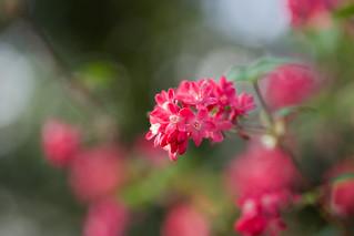 Flowering Currant II