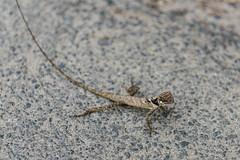 Micro Lizard (luke.me.up) Tags: munnar kerala india nikon d810 lizard reptile