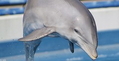 Loren (supermandrin1) Tags: bottlenose dolphin delfín mular loren zoo aquarium madrid marine mammals mamíferos marinos acuario agua azul delfinario dolphinarium photography fotografía animals animales