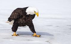 IMG_5983 Bald Eagle (Wallace River) Tags: aboiteau baldeagle bito icefishing wallacebay