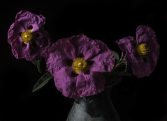 Flowers Fading Fast (Bill Gracey 15 Million Views) Tags: fading flowers flores fleur magenta purple color highcontrast sidelighting textures shapes noir offcameraflash yongnuo trigger macrolens homestudio blackbackground tabletopphotography softbox shadowshapes